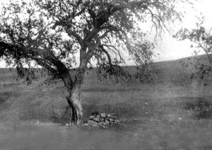 Cottonwood Tree where Lame Johnny was hanged and buried.