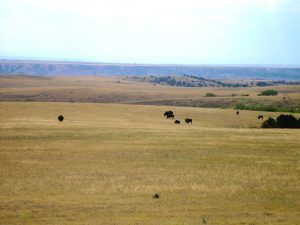 Buffalo in the South Dakota Badlands by Kathy Weiser-Alexander.