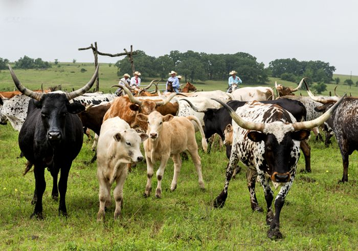 Modern-day cowboys herding longhorn cattle in Texas by Carol Highsmith.