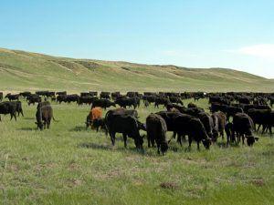 Nebraska Cattle courtesy the Univervisty of Nebraska
