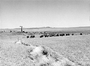 Cattle in the Nebraska Sandhills by Marion Wolcott Post, 1941.