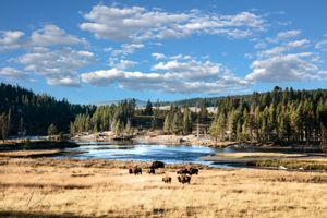 Buffalo on the move in Yellowstone National Park, Wyoming by Carol Highsmith.