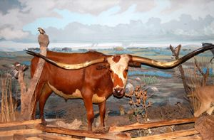 San Antonio Longhorn displayed in the Buckhorn Saloon in San Antonio, Texas by Dave Alexander.