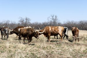 Longhorn cattle at Fort Griffin, Texas by Carol Highsmith.