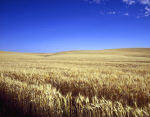 Wheat in Kansas by carol Highsmith.