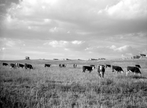 Wyoming cattle by Arthur Rothstein, 1936.
