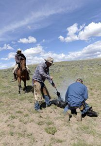Branding cattle in Moffat County, Colorado today by Carol Highsmith.