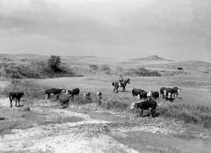 Montana Cattle by Arthur Rothstein.
