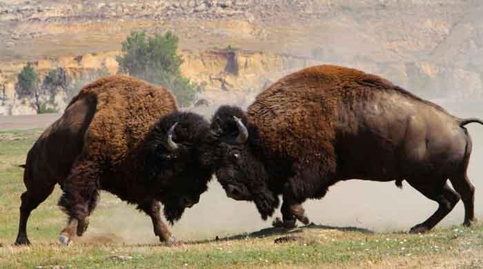 Buffalo Bulls NPS