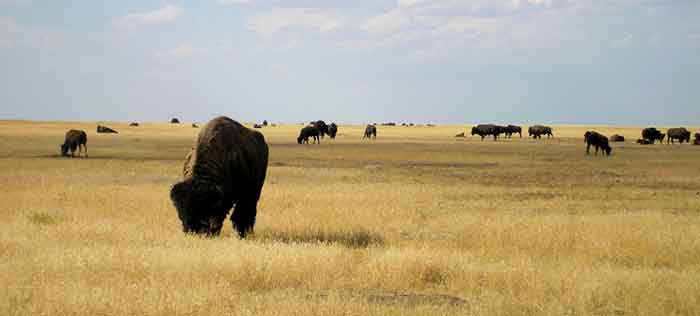 Buffalo in South Dakota