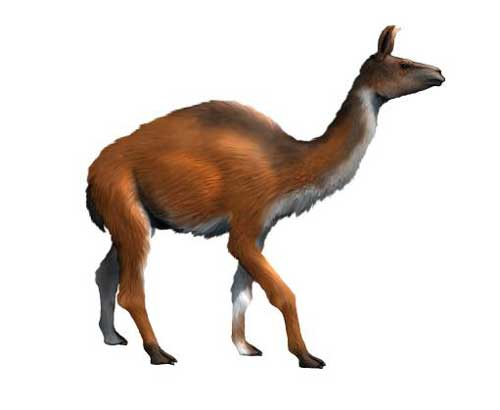 Camelops is an extinct type of camels that lived in Western North America.