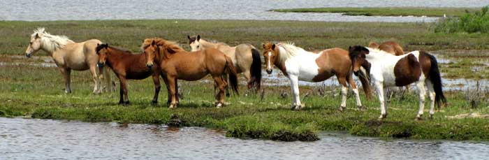 Horses at Assateague Island National Seashore, Maryland by the National Park Service.
