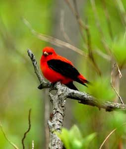 Scarlet Tanager at Indiana Dunes by the National Park Service.