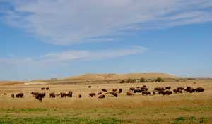 Buffalo near Bowman, North Dakota by Kathy Weiuser-Alexander.