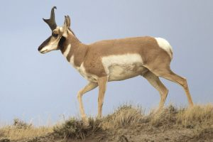 Pronghorn Antelope in Wyoming by Yathin S. Krishnappa, Wikipedia.