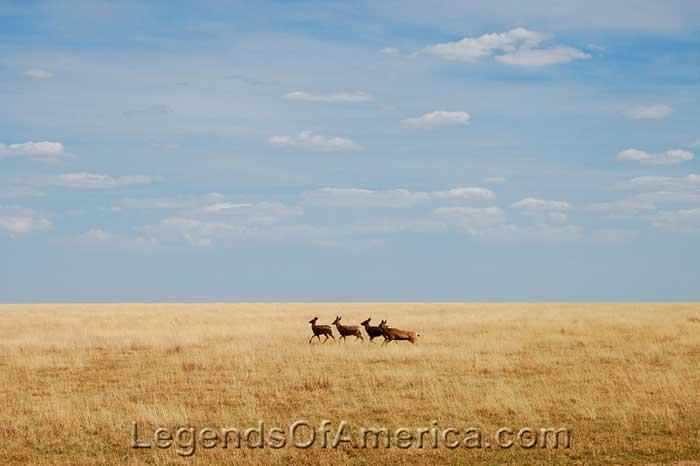 Mule Deer near Manter, Kansas